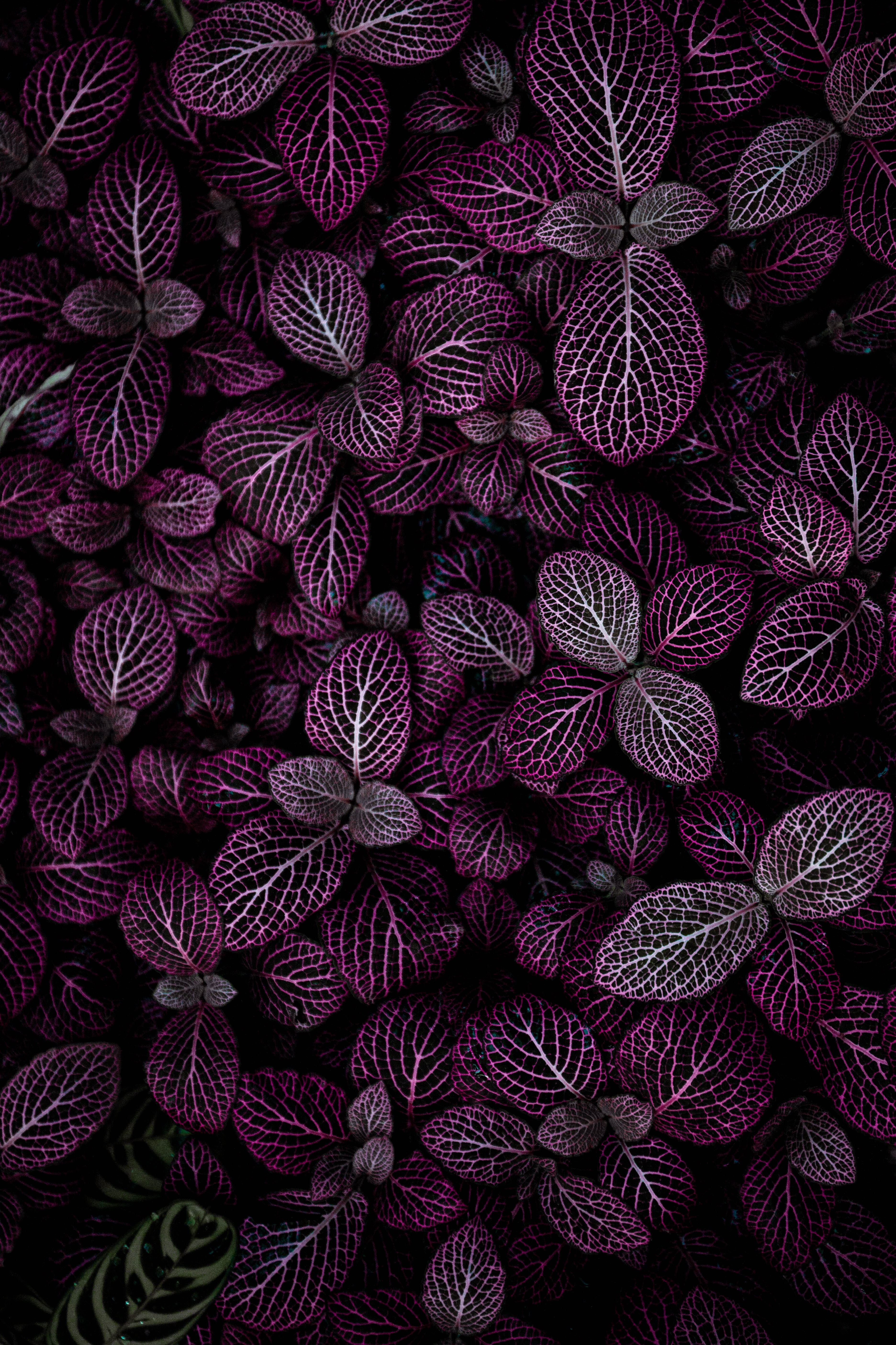 purple leafed plant field