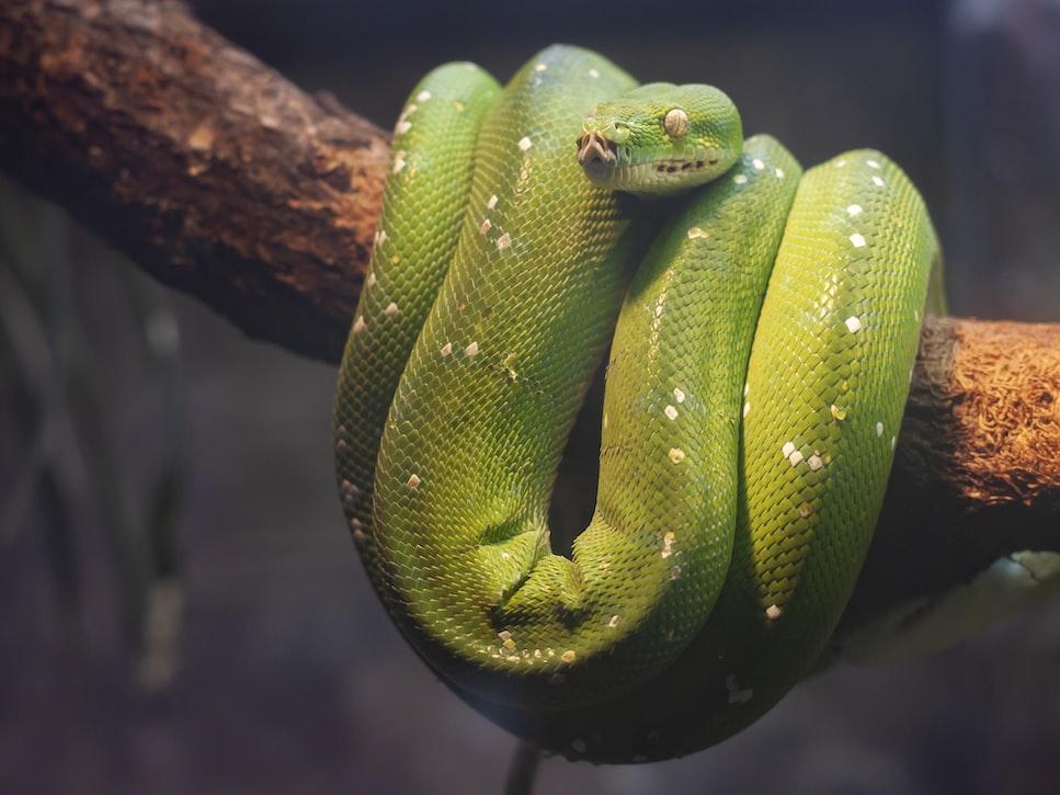 Green python on brown tree. @tirzavandijk, unsplash.com
