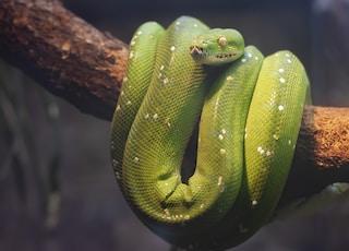 green python on brown tree