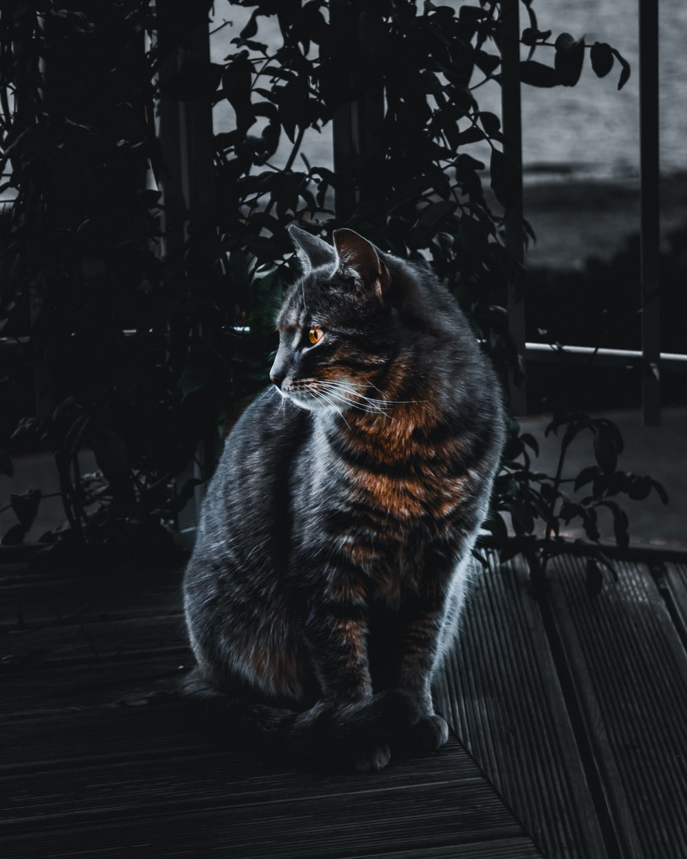 selective focus of silver tabby cat