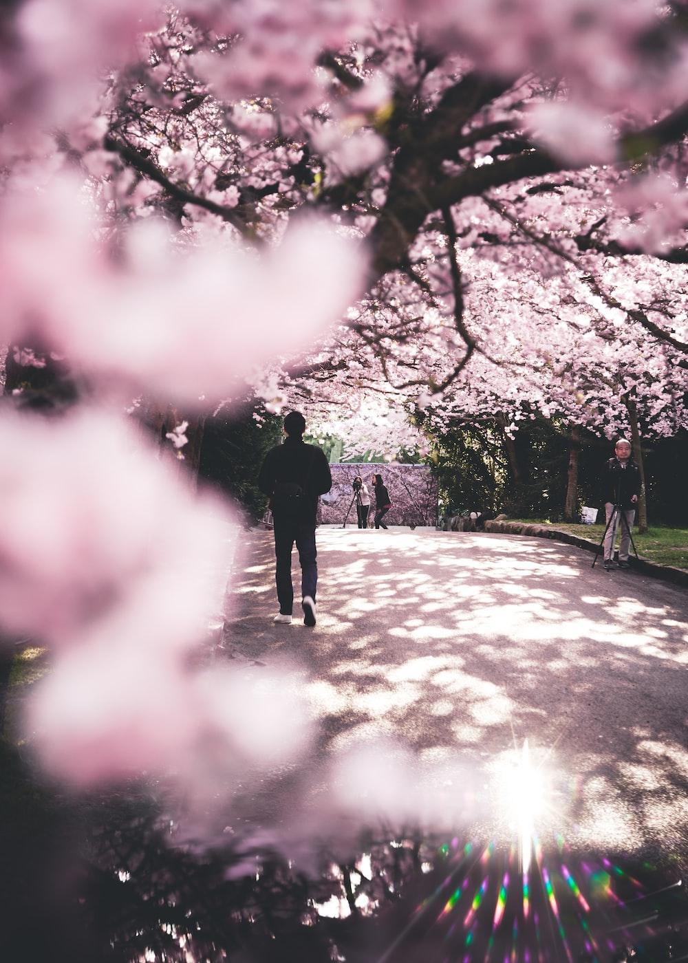man walking under blossom trees