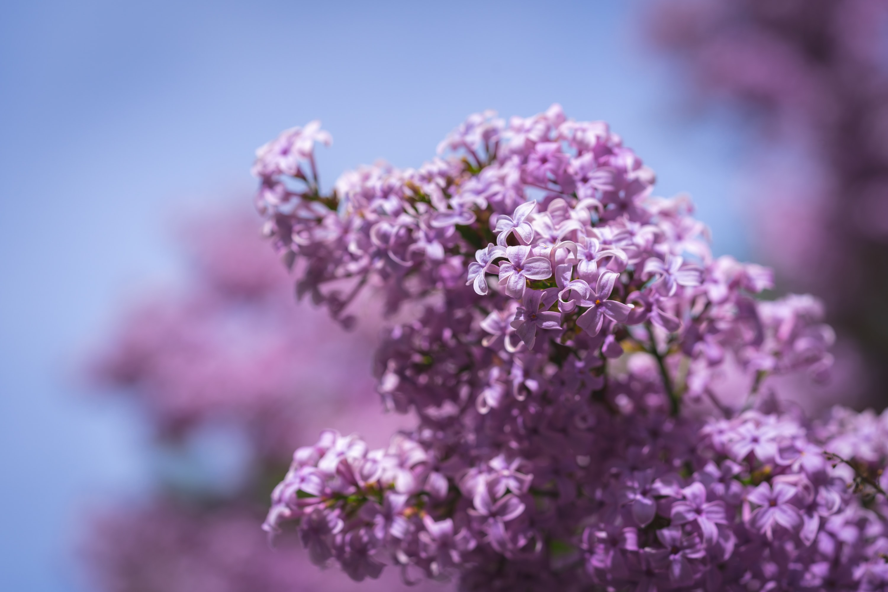 selective focus photography of purple cherry blossoms
