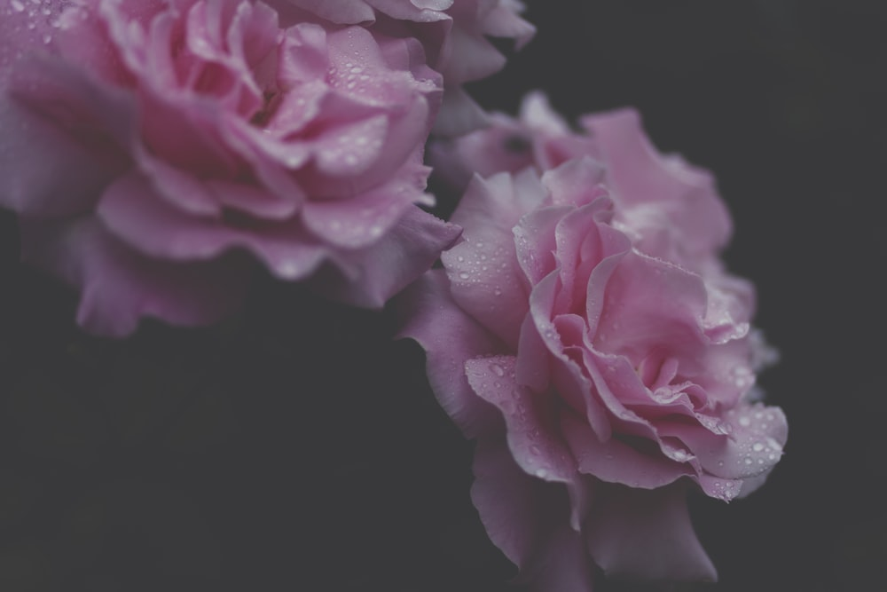 White Carnation Pictures Hd Download Free Images On Unsplash
