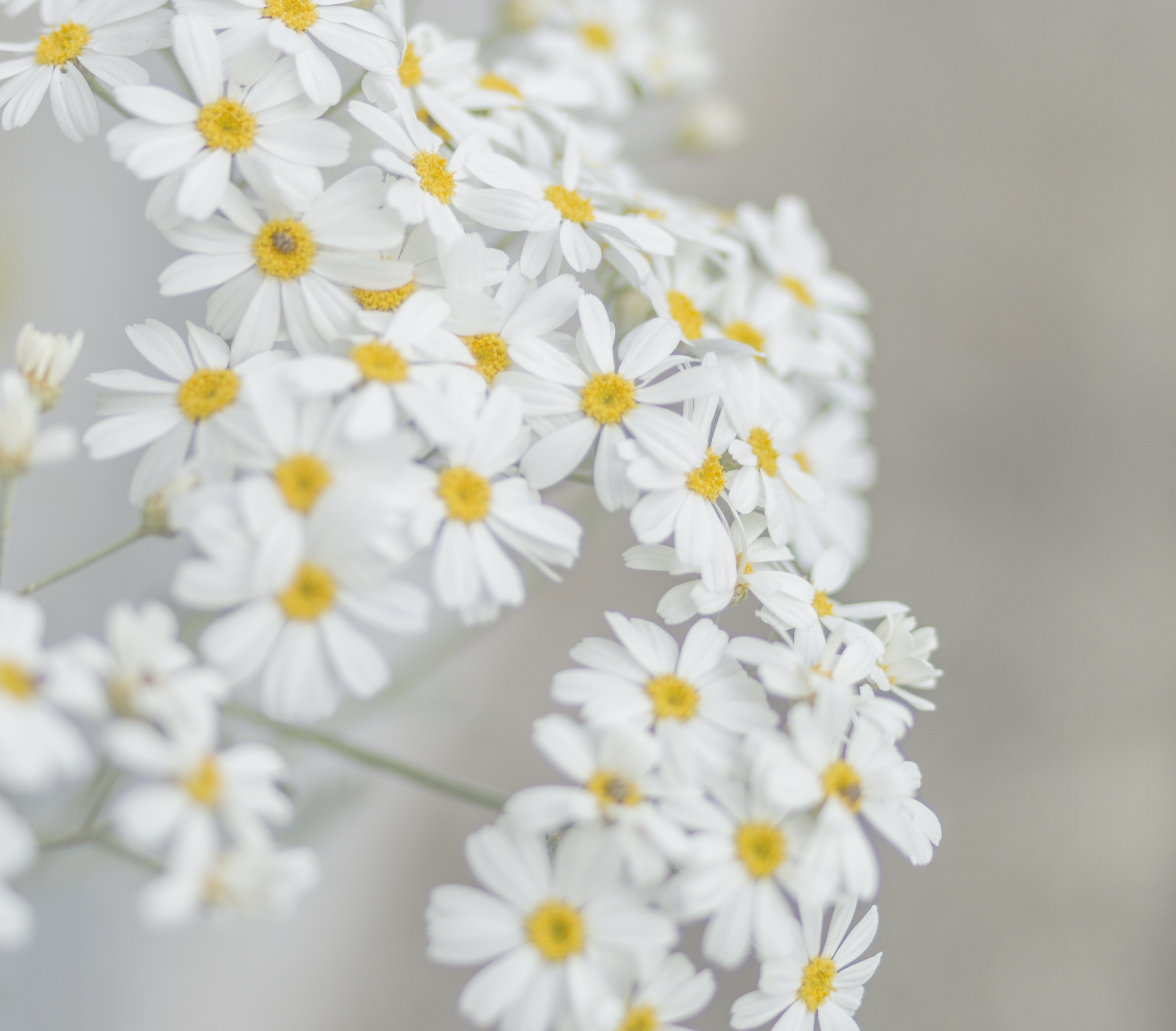 white and yellow petaled flower