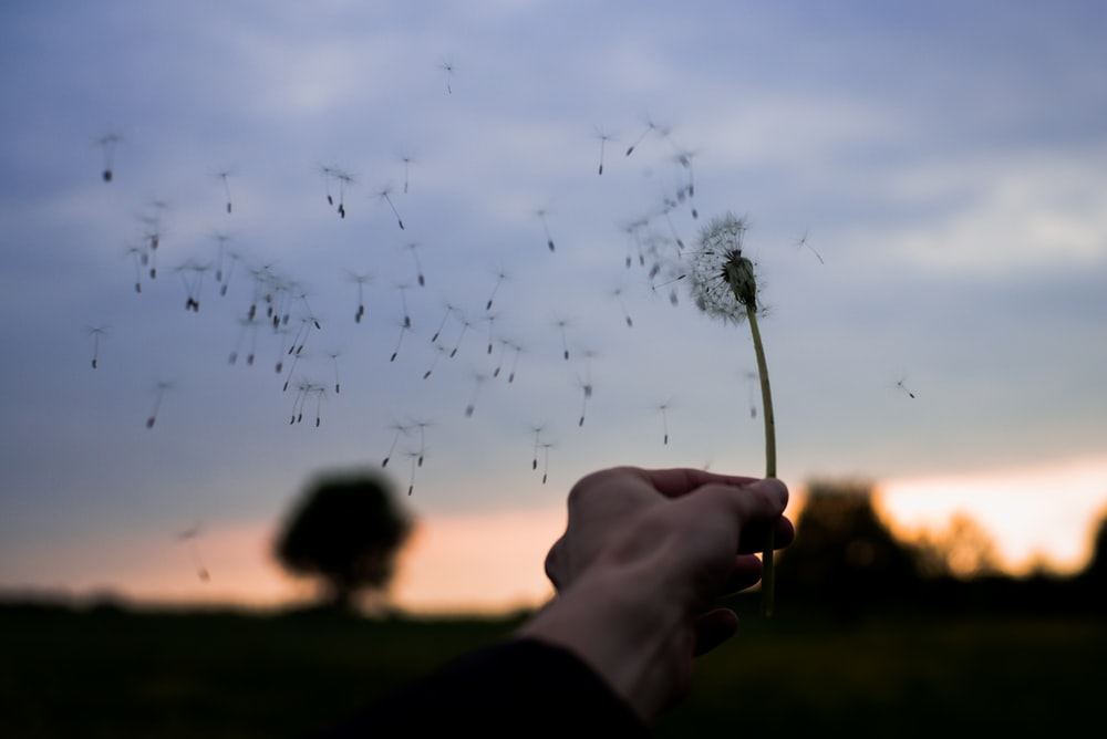 person holding white dandelion flower