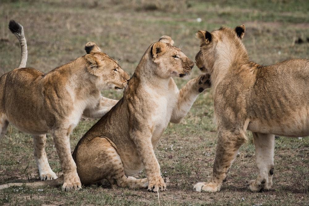 three lionese on grass field