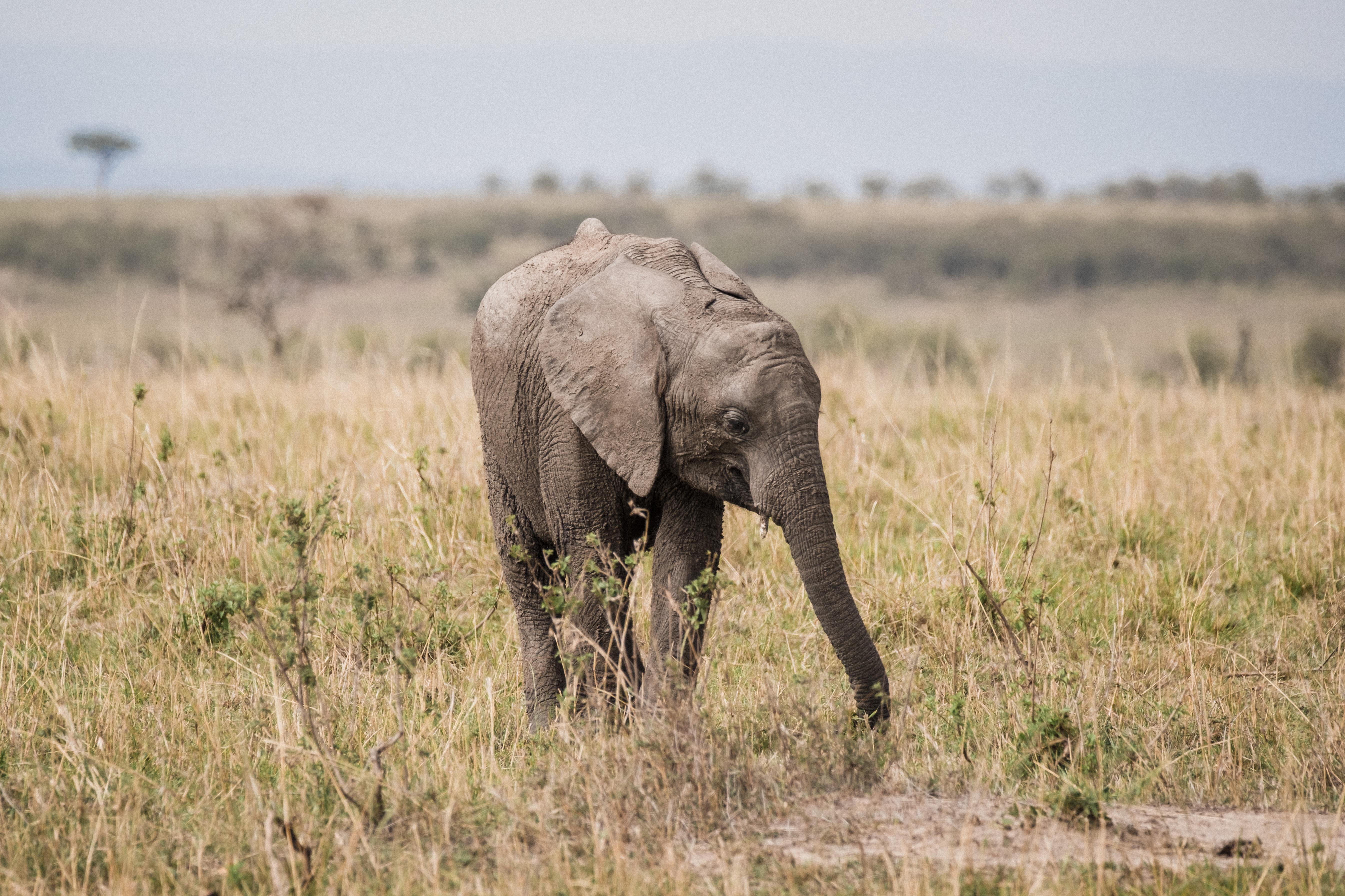gray elephant walking on green grass field