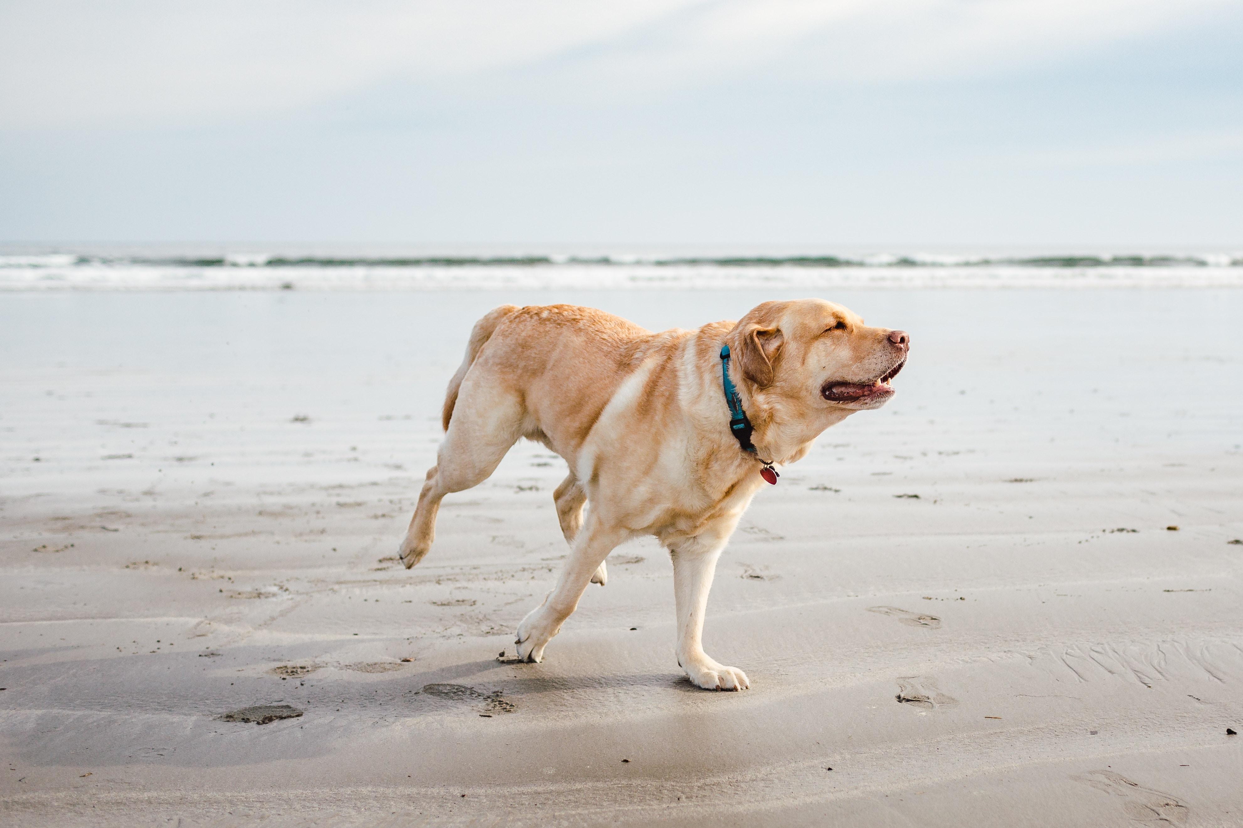adult yellow Labrador retriever on sand