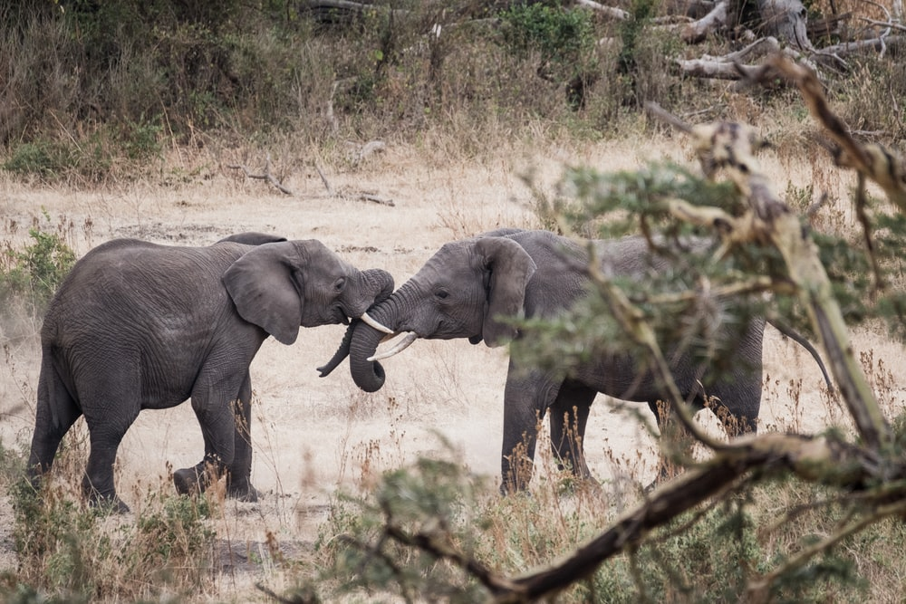 two gray elephant kissing near trees
