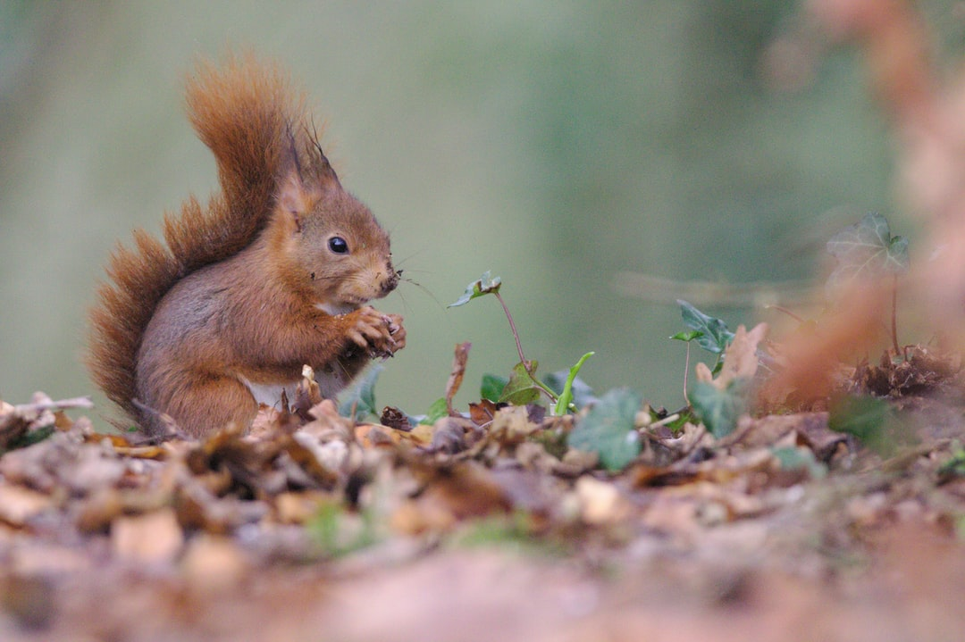 Squirrel caught at eating during a long session waiting for birds. It cames several times to taste some fresh nuts.