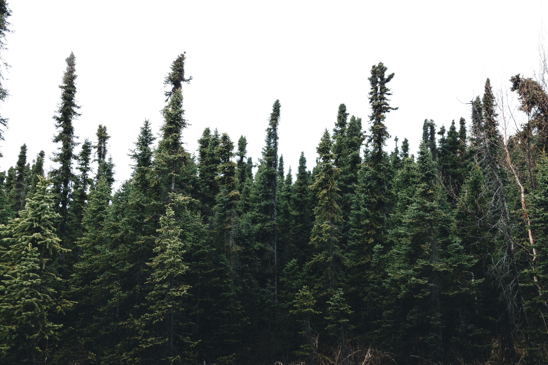 pine tress on forest under blue sky