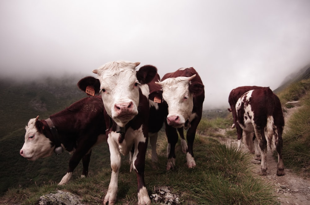 four white and red cows on green grass field