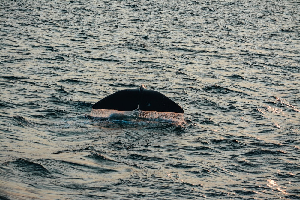 whale swimming on water