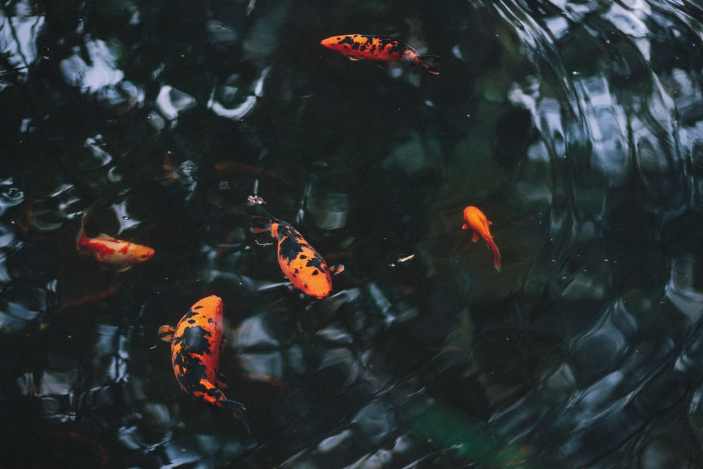 five orange fishes on body of water