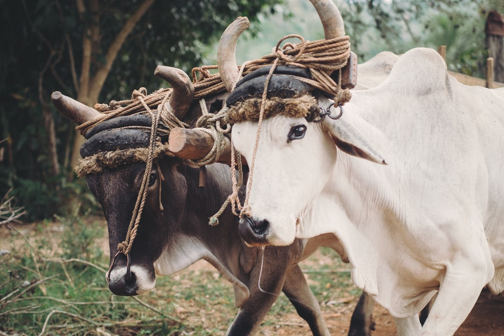 two white and brown cattle
