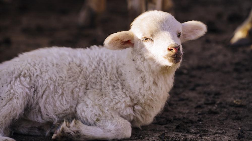 white sheep lying on brown soil
