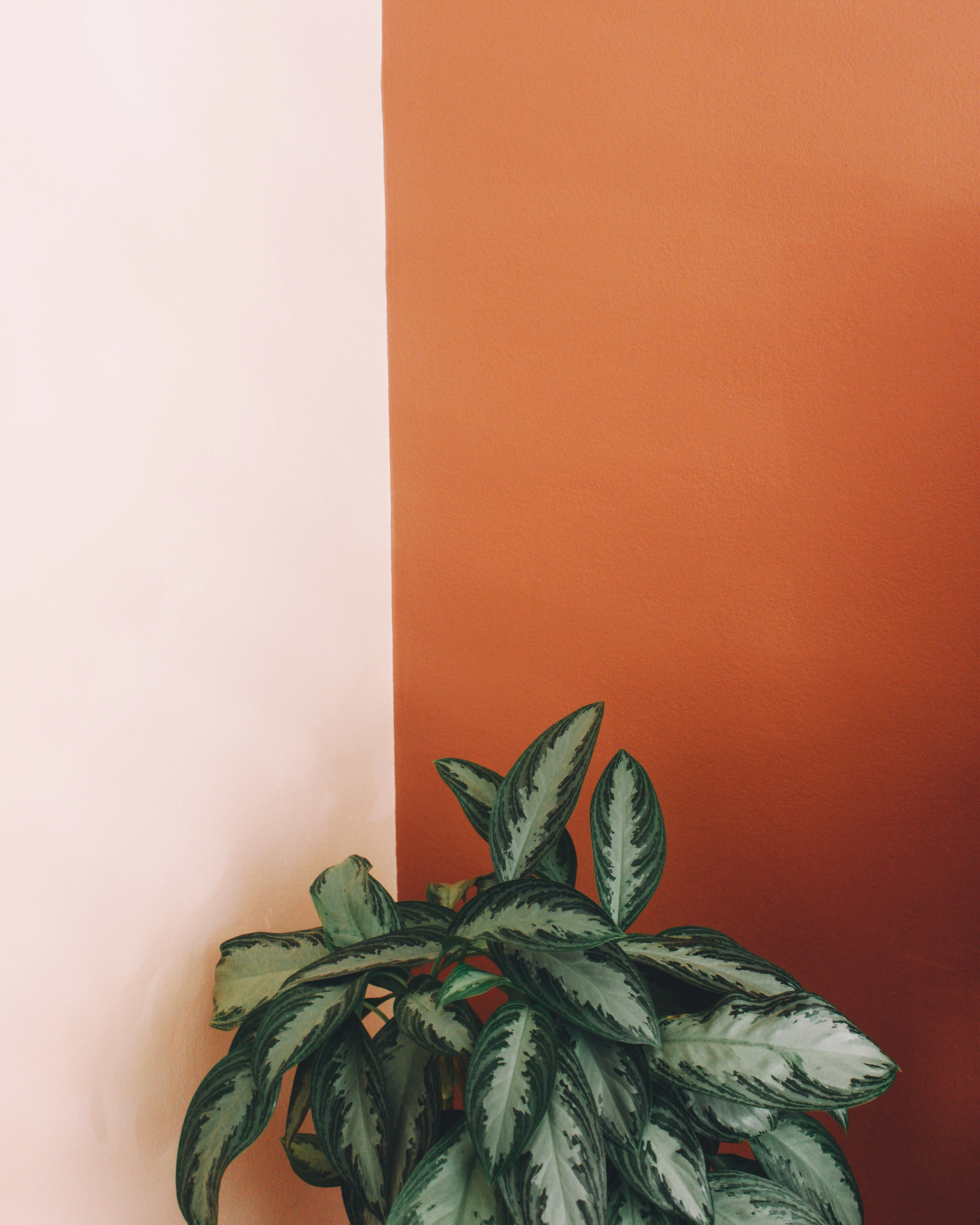 photo of Chinese evergreen plant