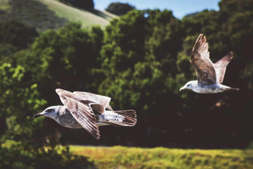 selective focus photography of two white birds flying near trees during daytime