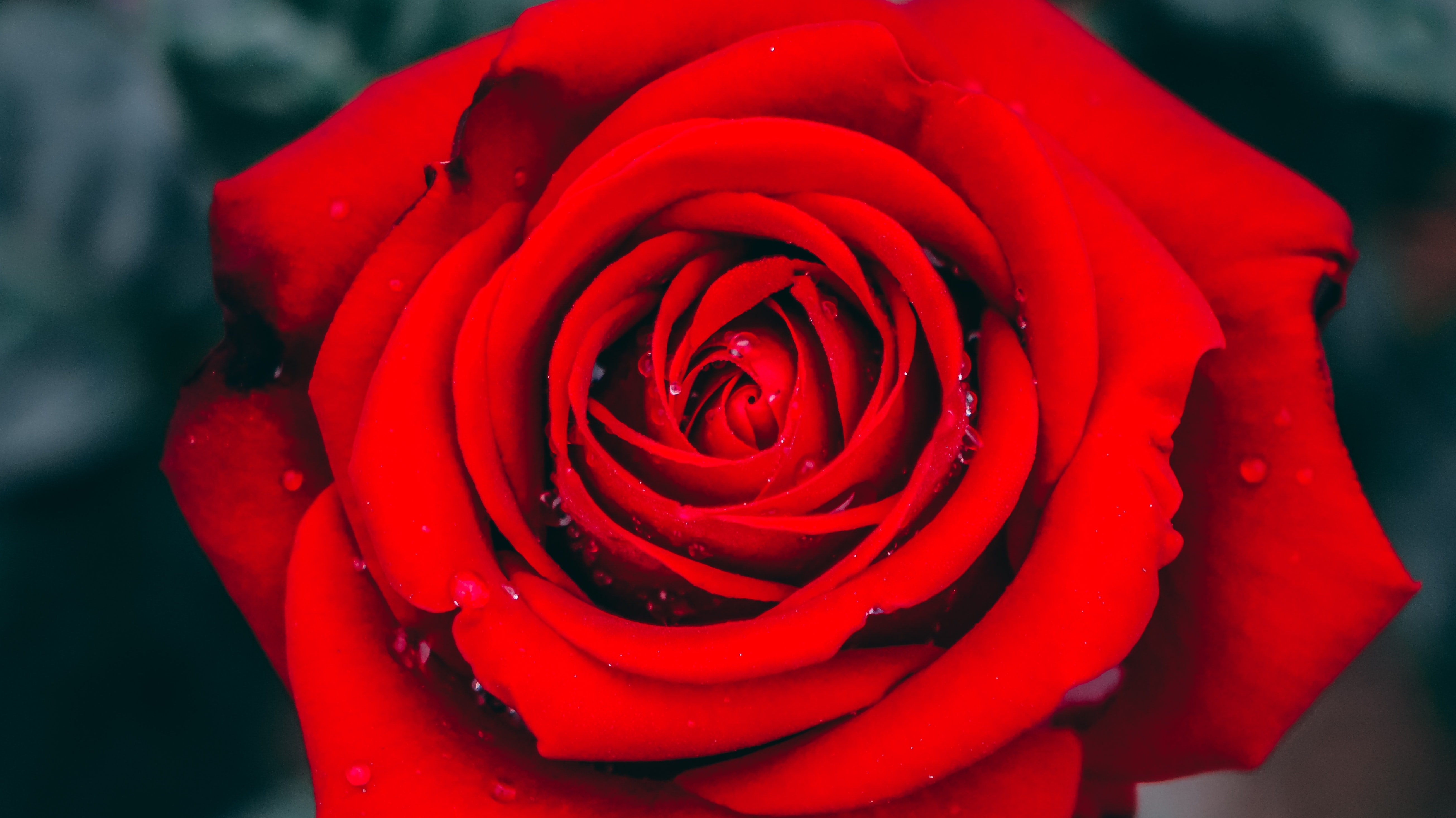 close up photography red rose flower