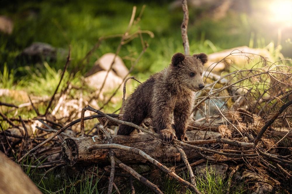 wildlife photography of brown bear cub