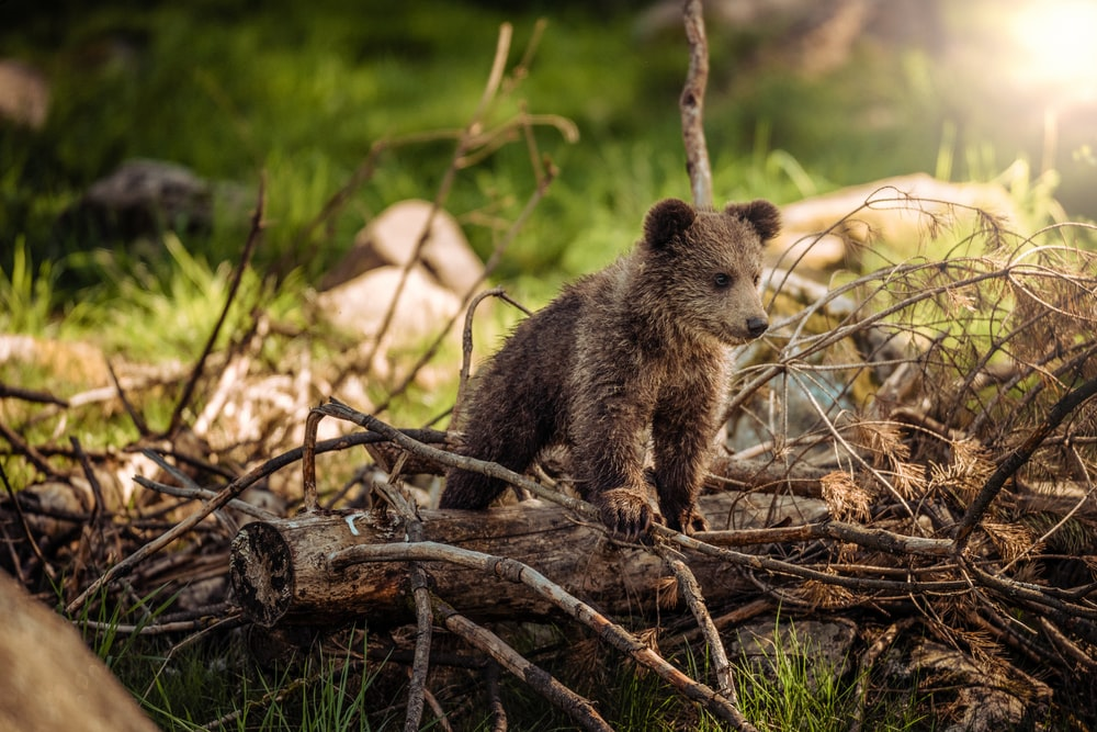 wildlife photography of brown bear cub