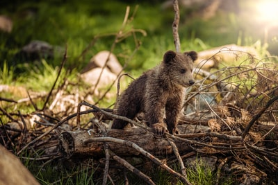 wildlife photography of brown bear cub bear teams background