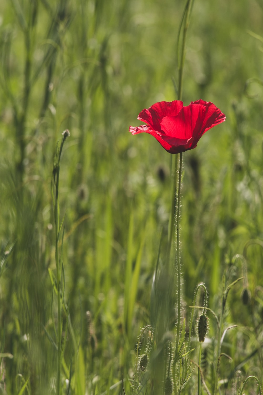 Opium Poppy Pictures Download Free Images On Unsplash