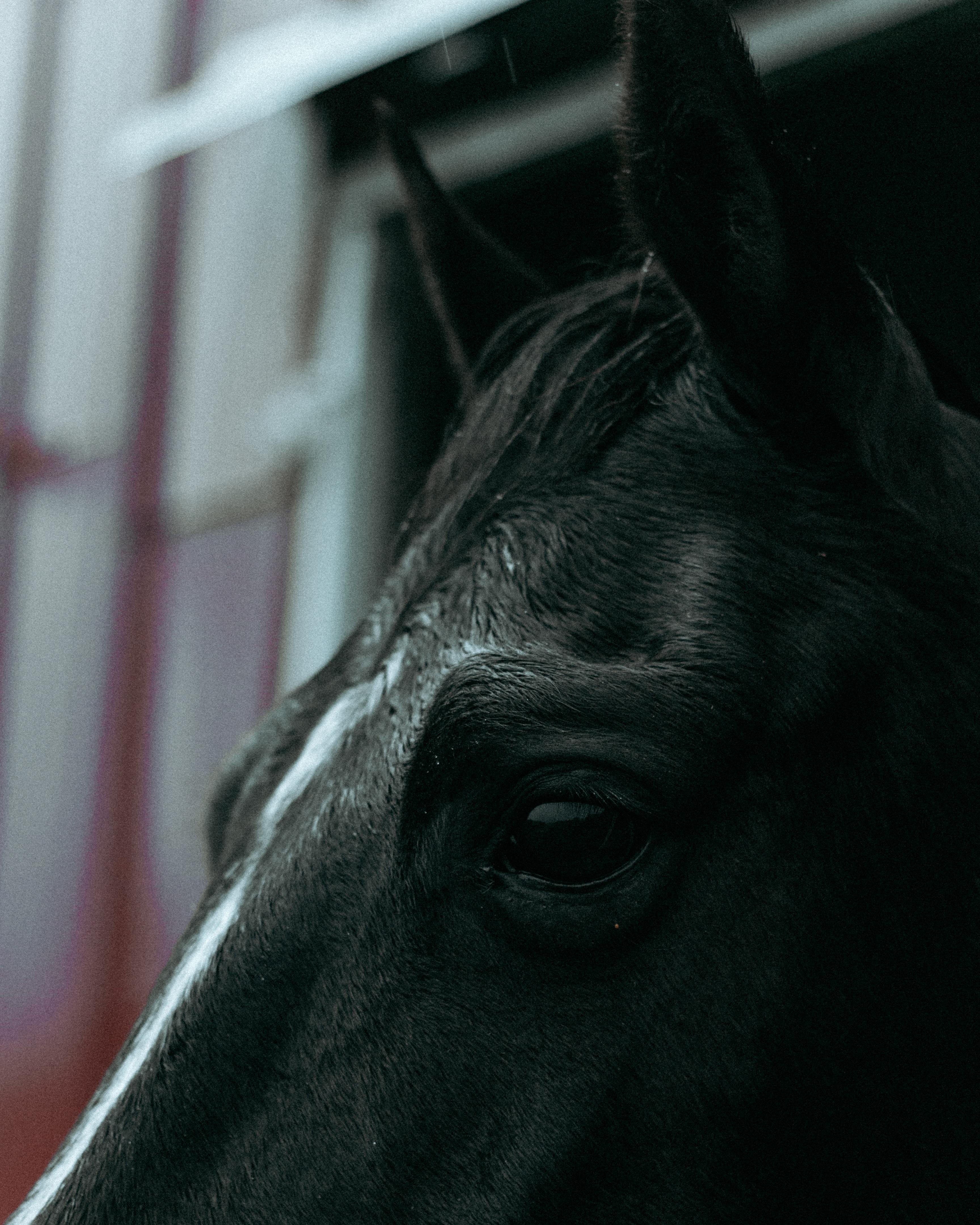 closeup photo of black horse head