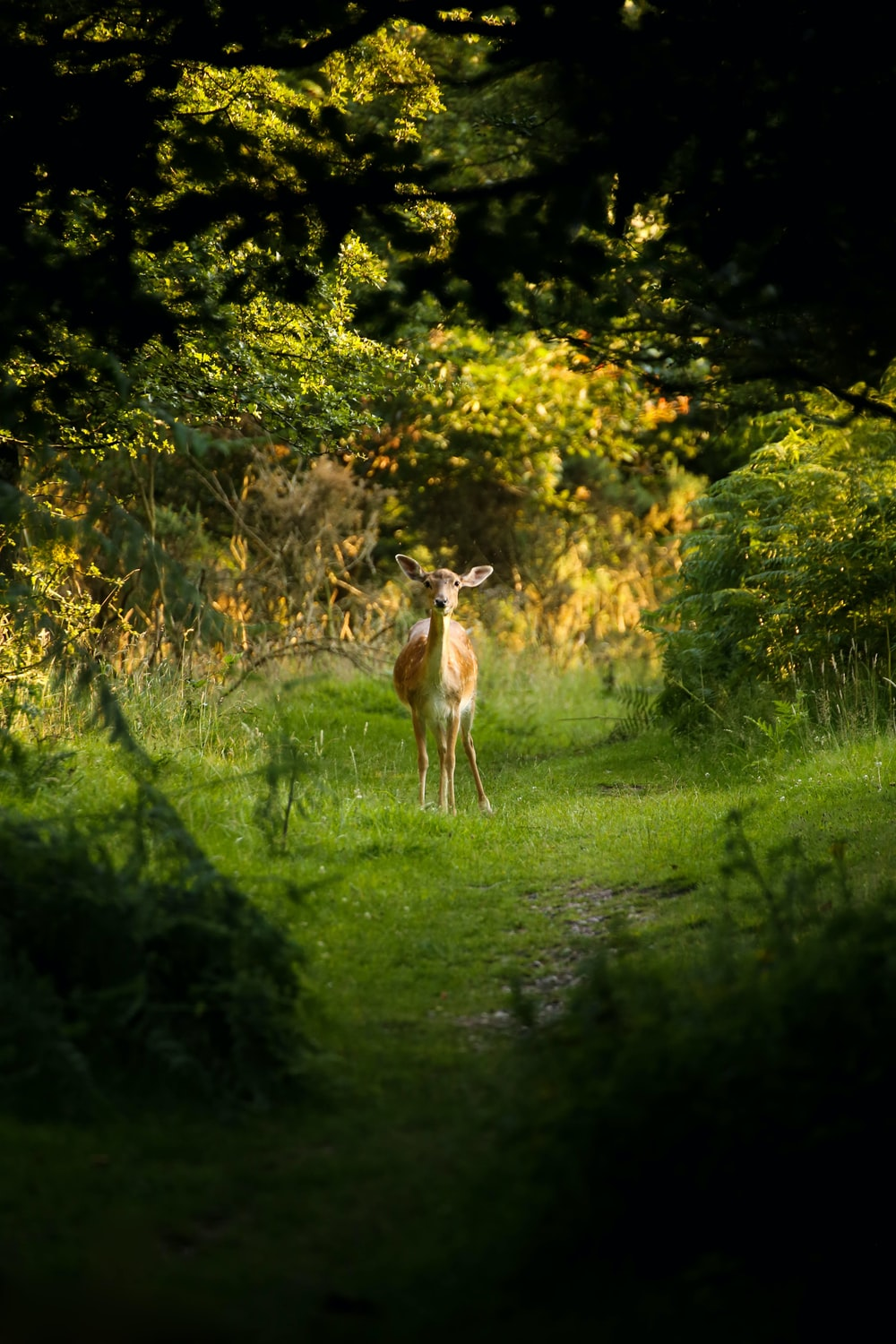 brown deer standing of grass field surrounded by trees