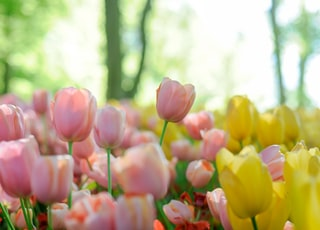 depth photography of pink and yellow tulip flowers