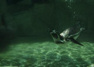 penguin dive through body of water