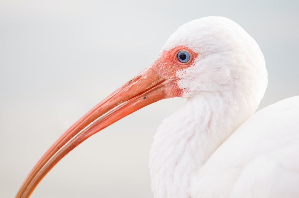 depth photography of white bird with long nose