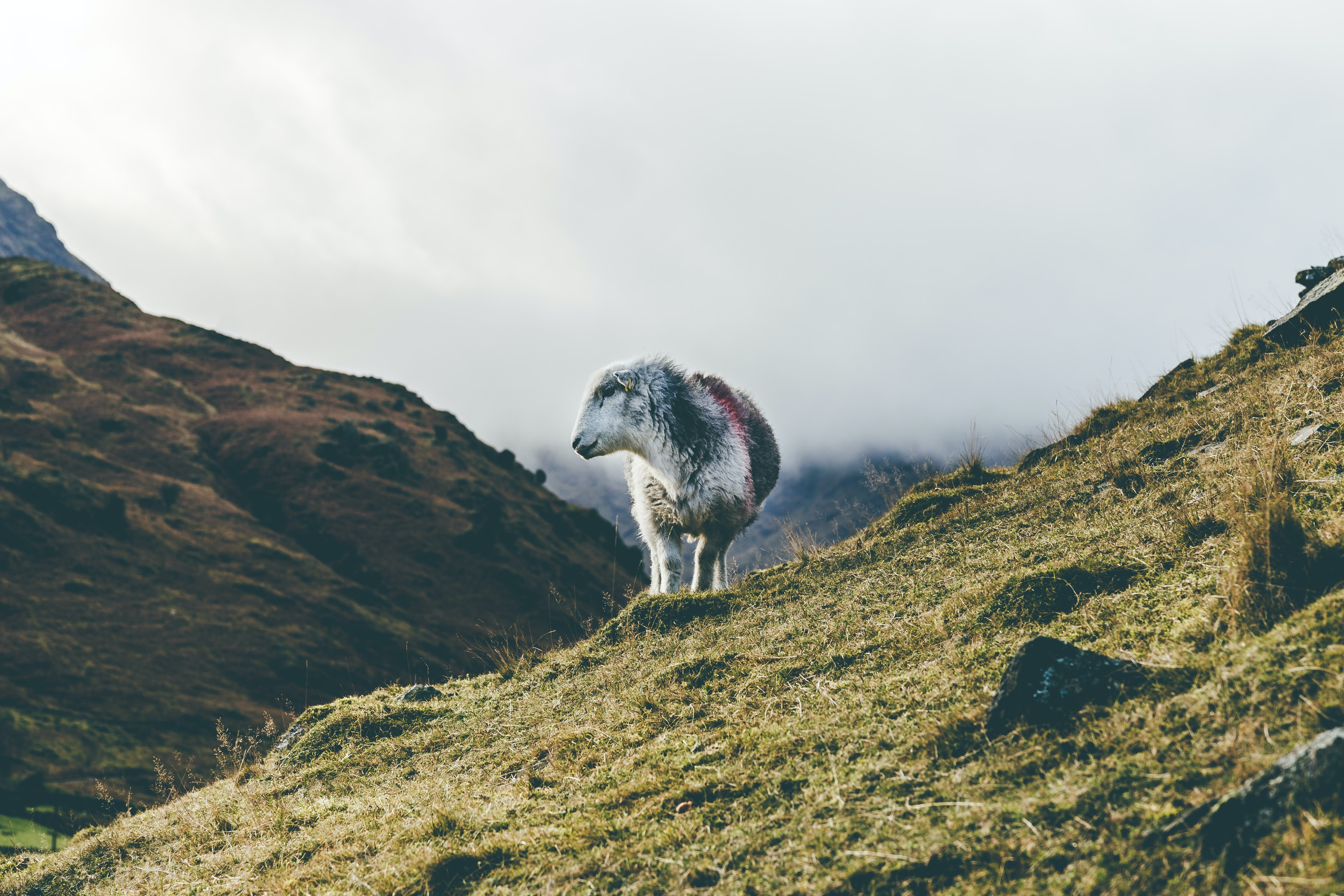 white mountain goat looking towards left
