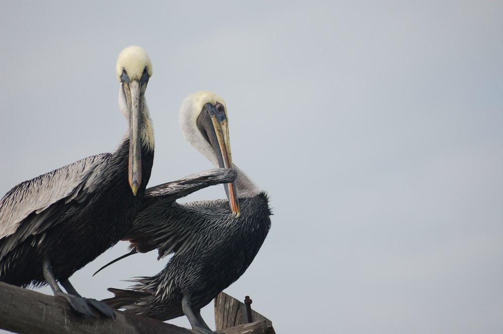 photo of two black pelicans