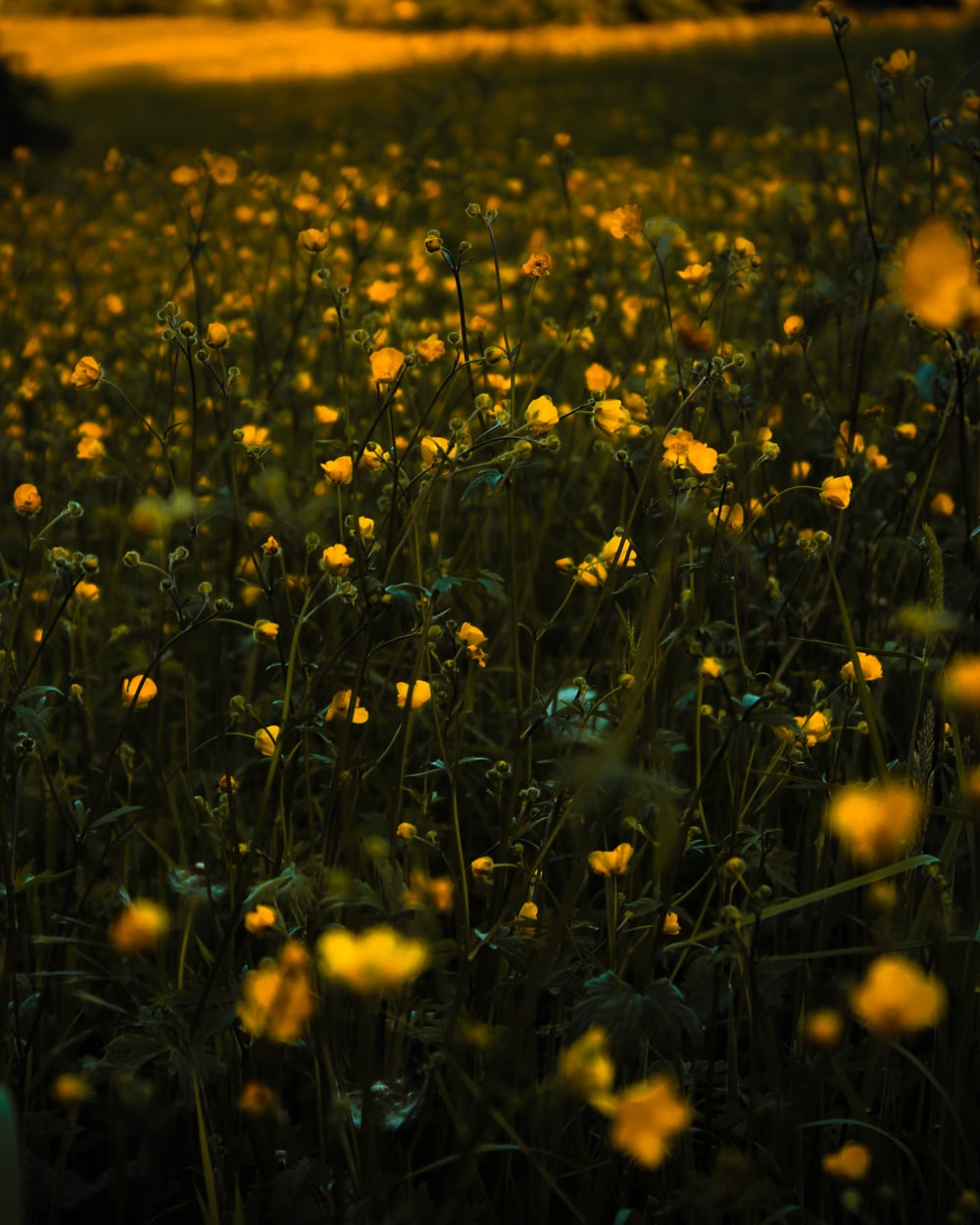 Yellow Filed Of Flower Flower Filed And Flowers Hd Photo By Mat