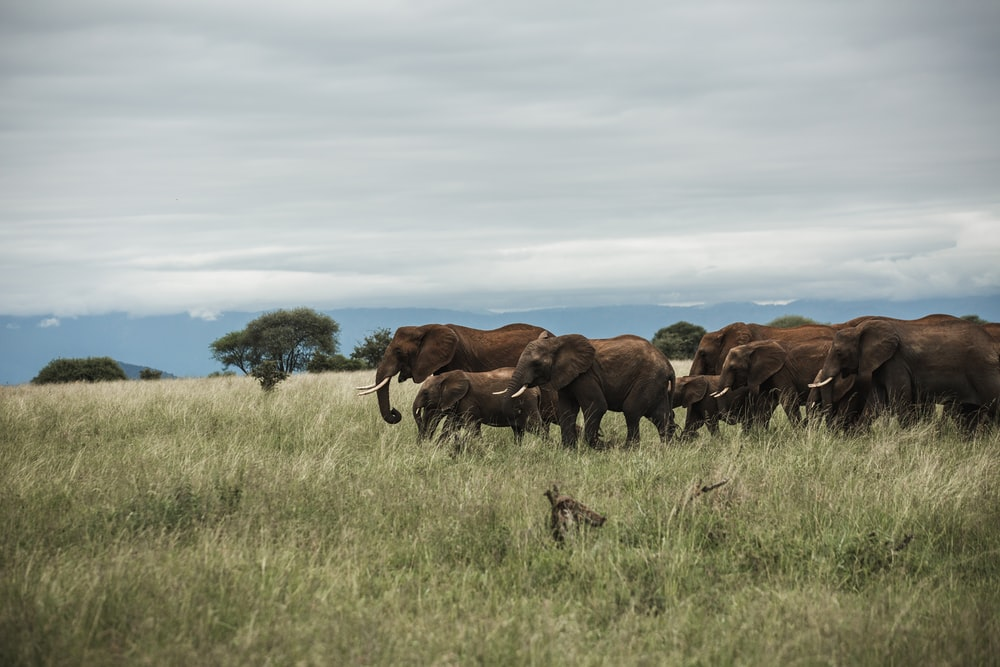group of elephant in middle of grass field under cloudy sky