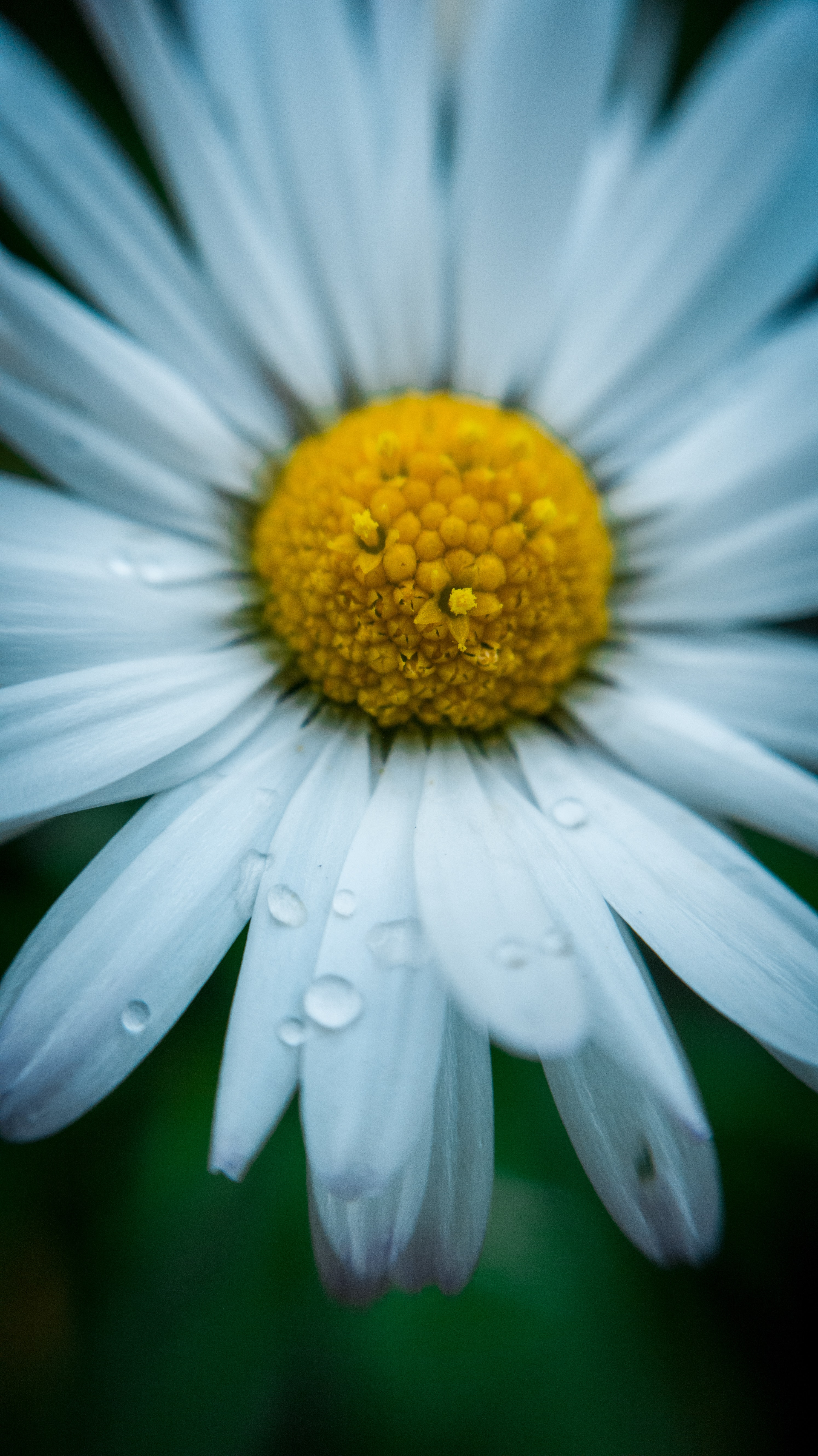 white daisy flower close-up photography