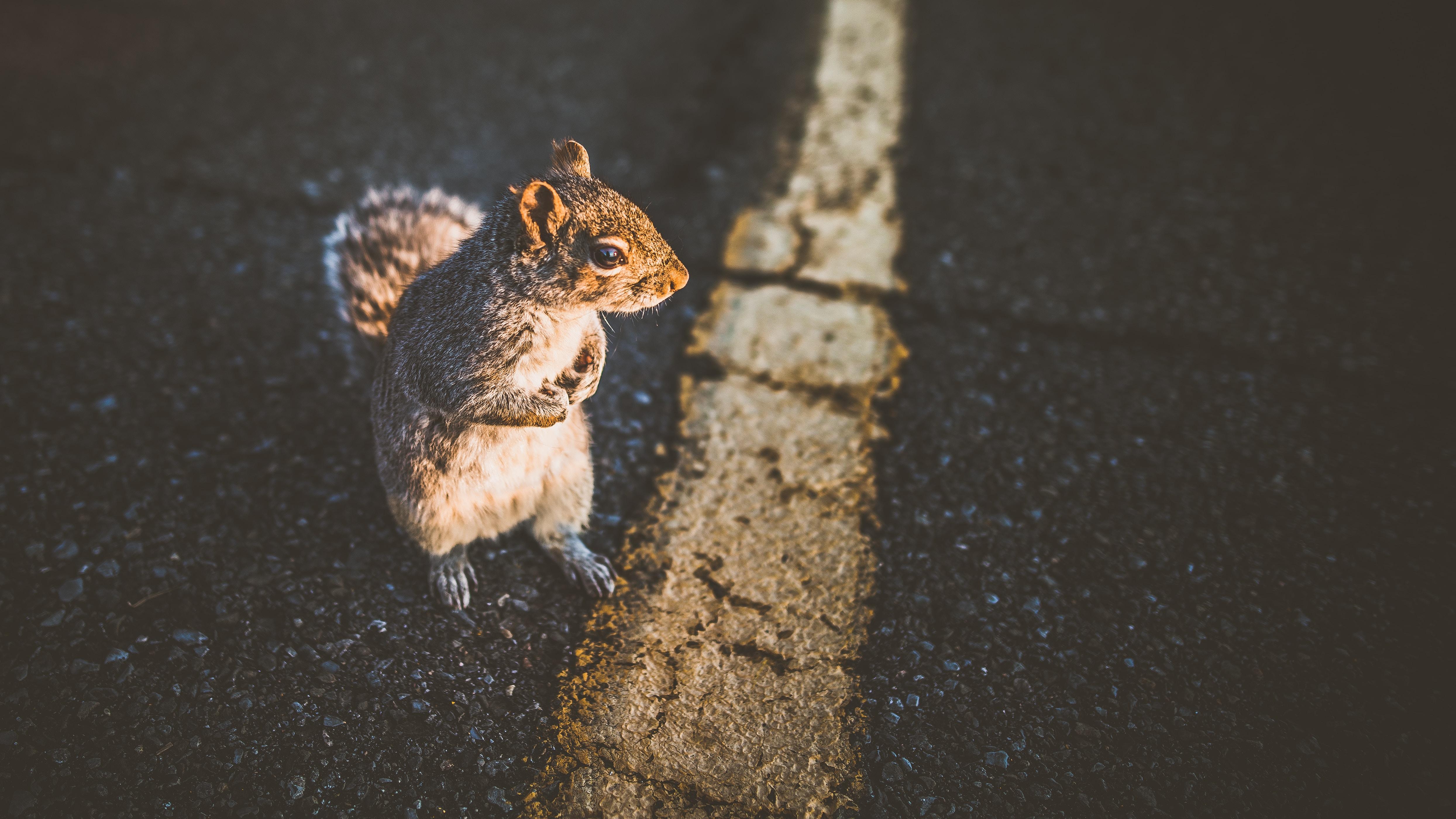 closeup photo of brown squirrel
