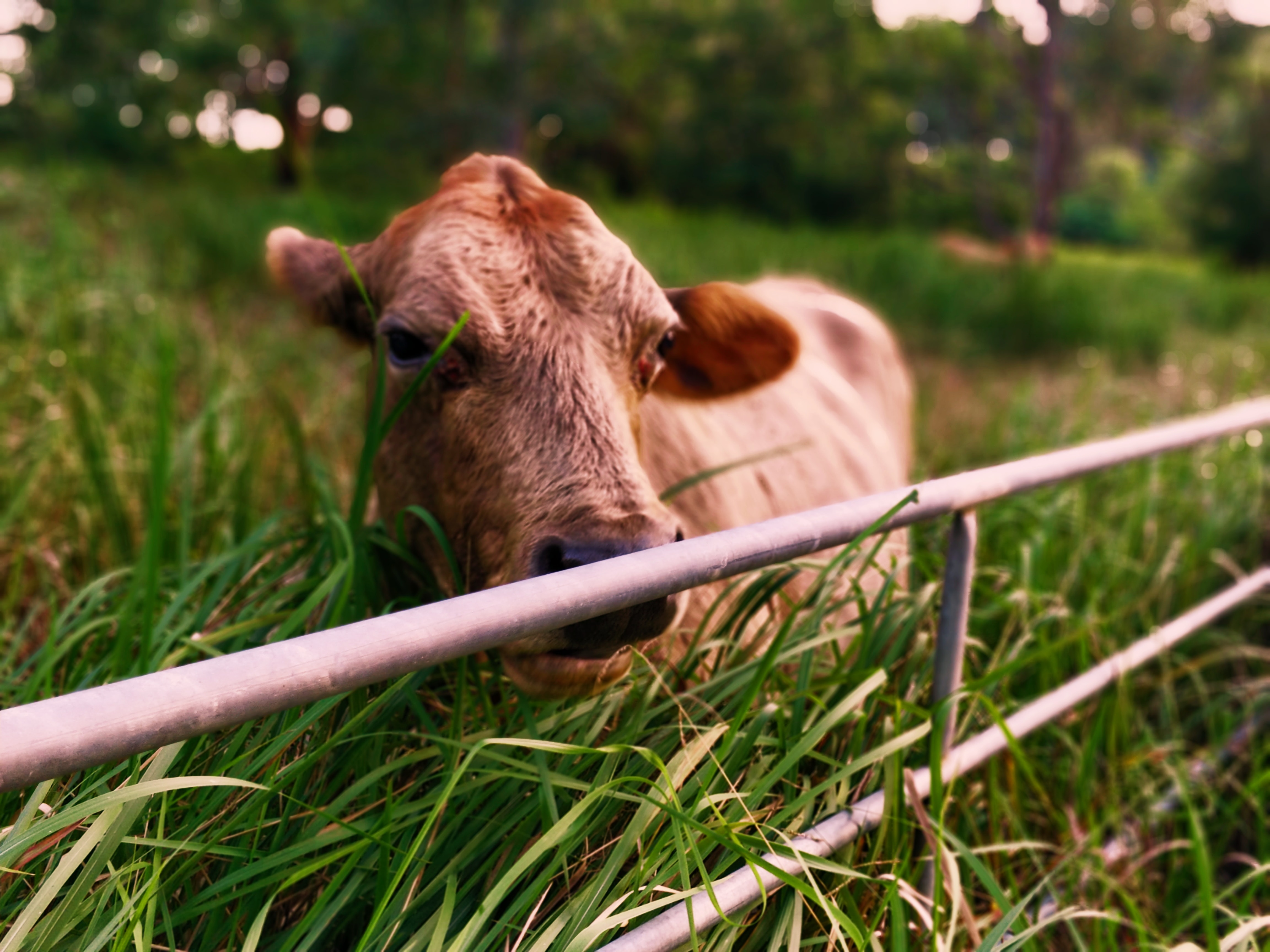 brown cattle against gate