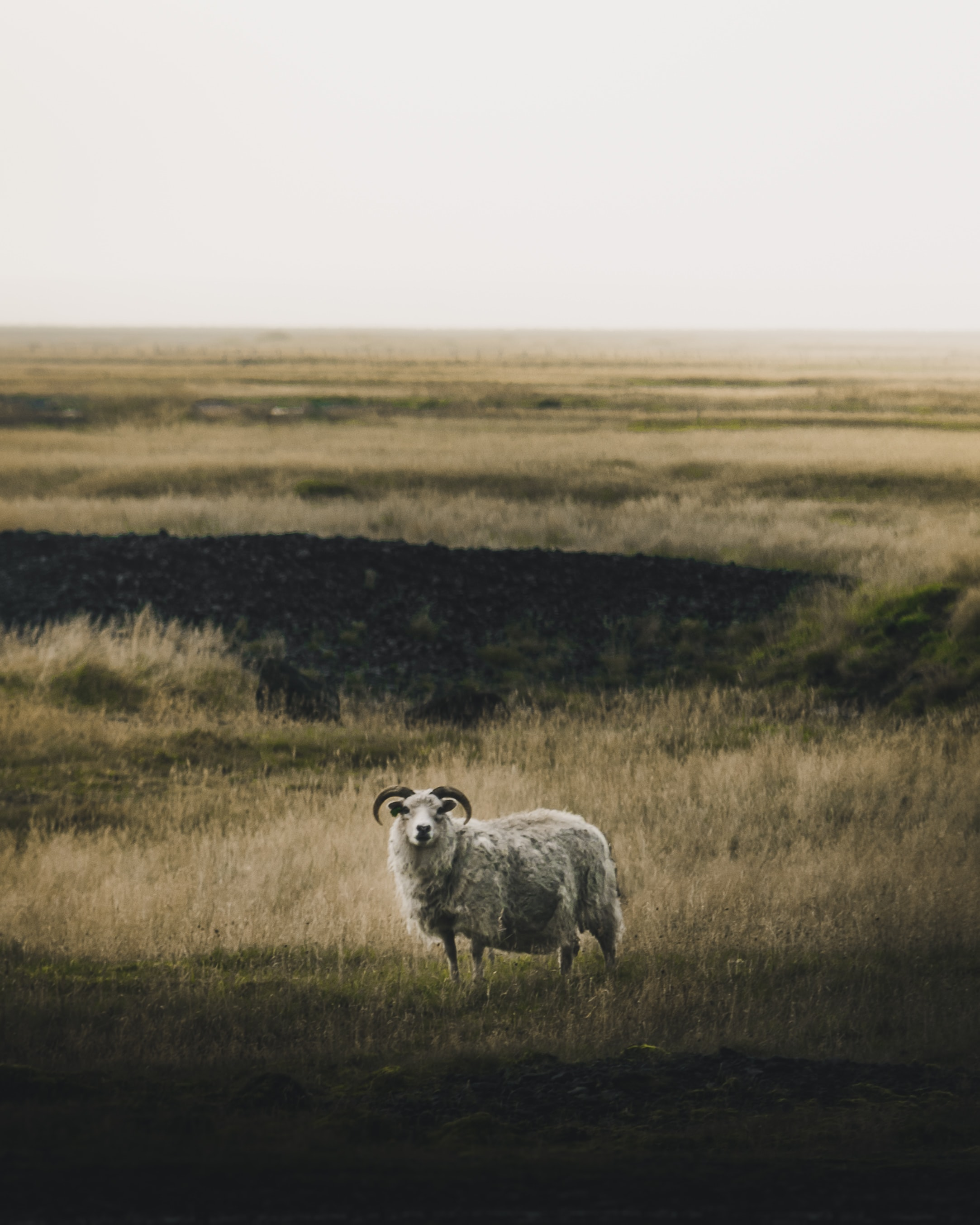 gray ram on steppe