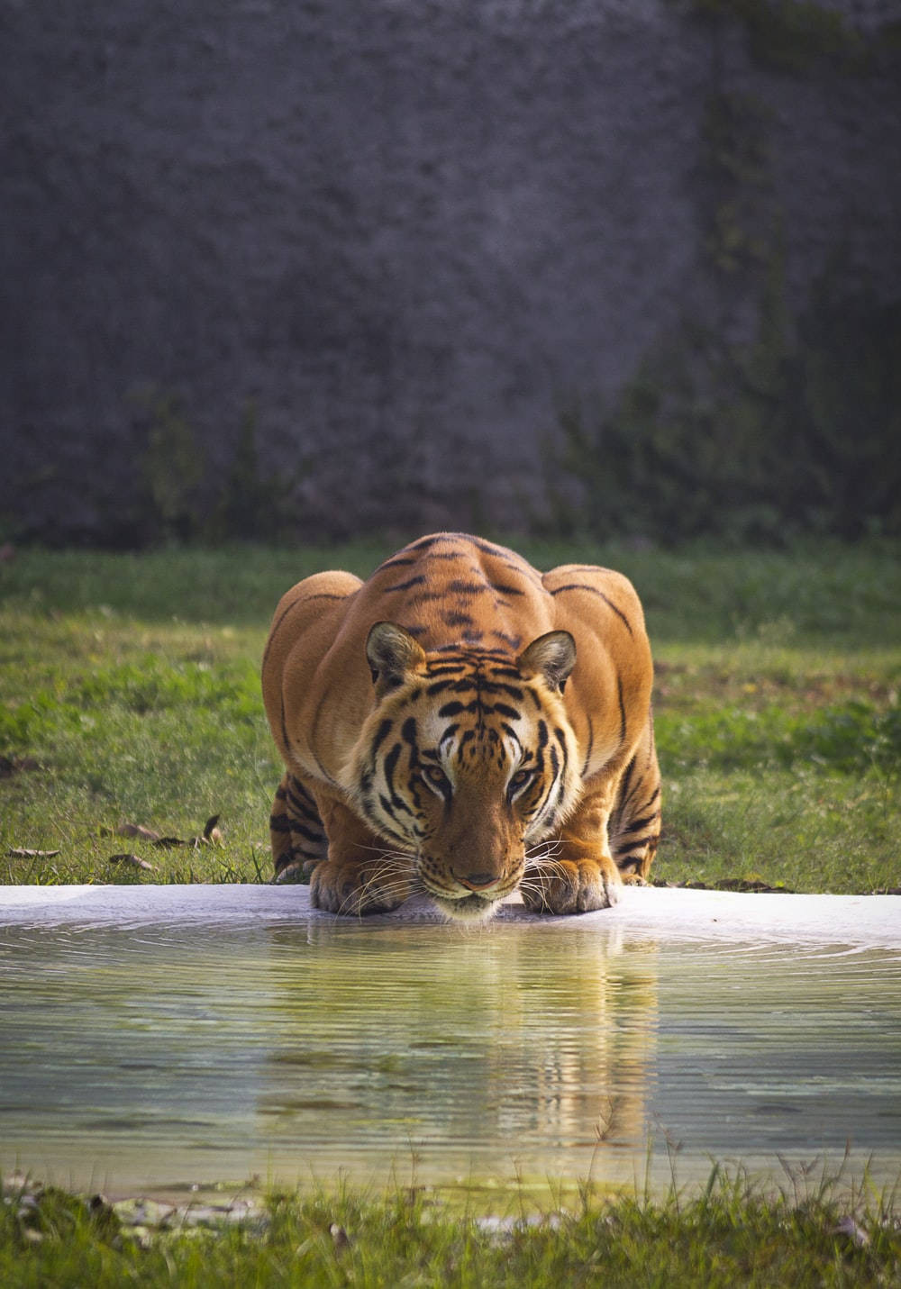brown and black tiger near body of water