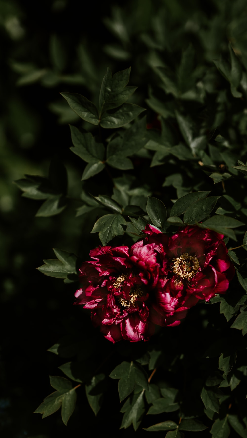 shallow focus photography of two red flowers
