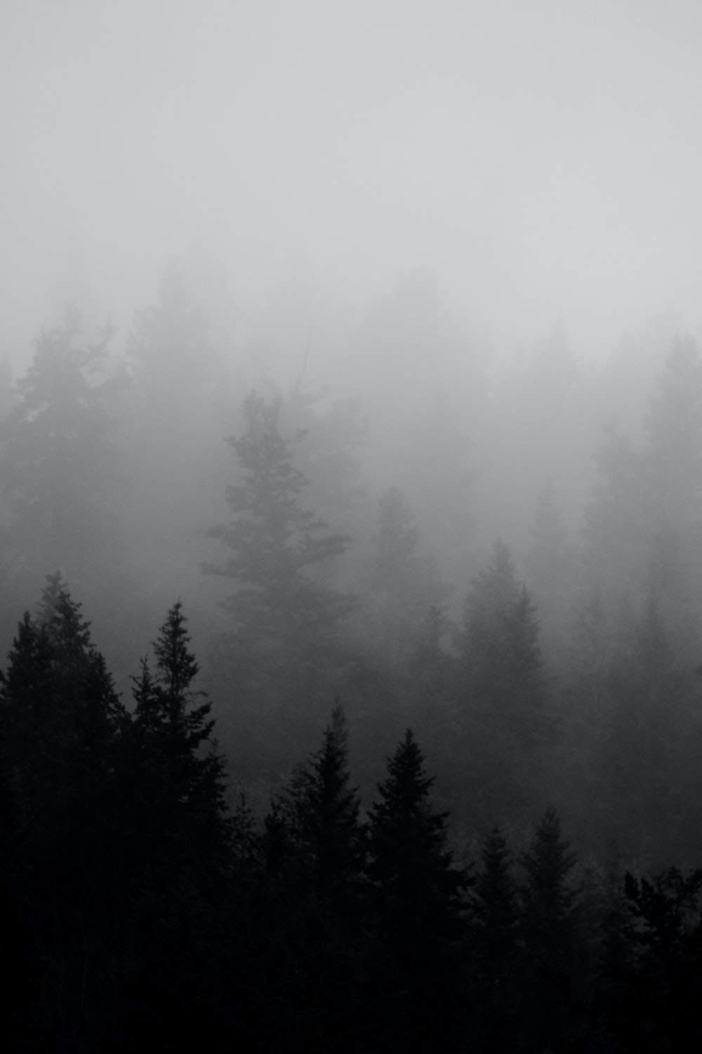 foggy pine tree forest
