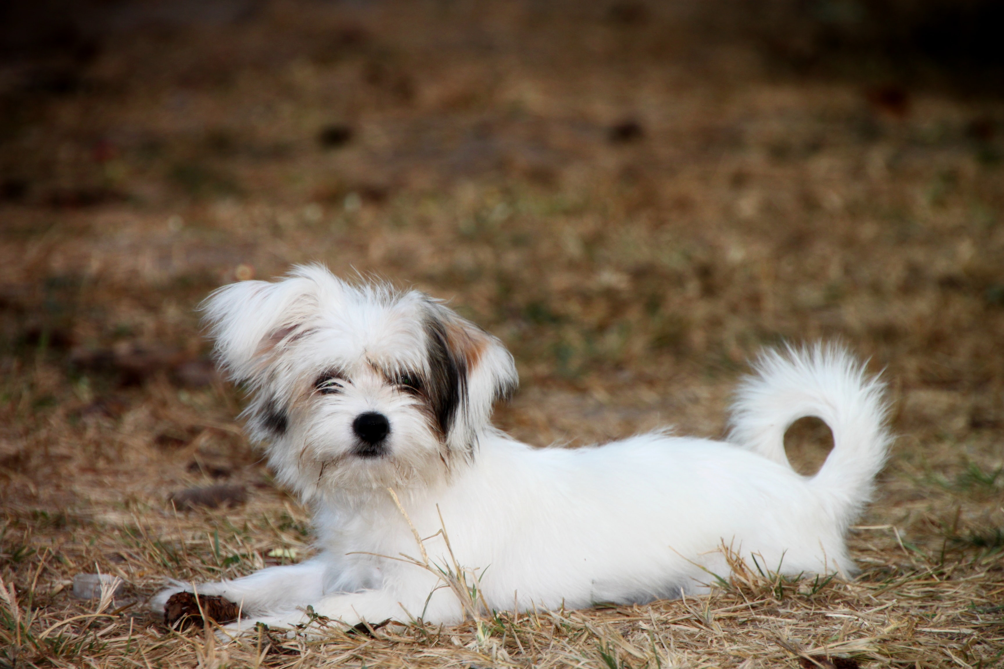 long-coat white and brown puppy lying on brown pavement