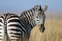 Zebra in Maasai Mara