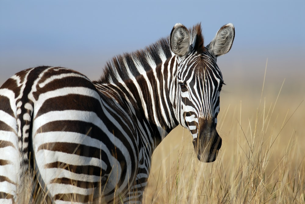 zebra standing on wheat field