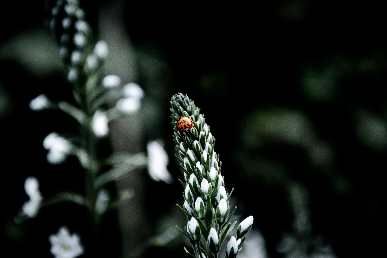 ladybug on white flowers