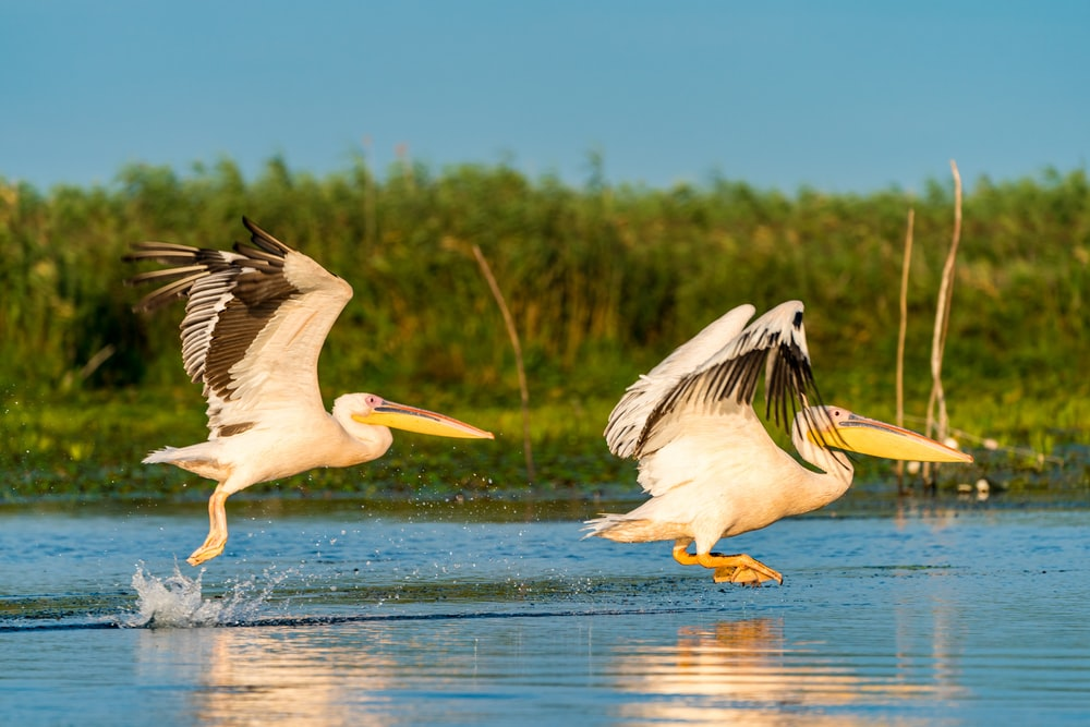 two pelicans flying above water during daytime