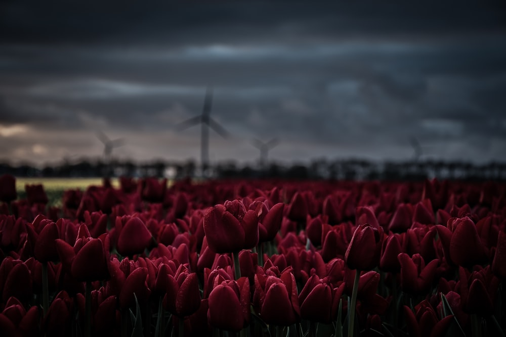 shallow focus photography of red tulip flowers