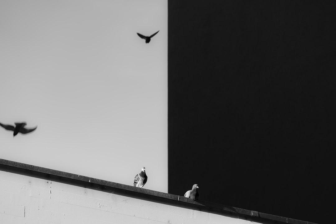 Yin and Yang pigeons
